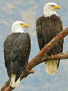 Bald Eagles 2