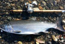 Coho Salmon