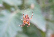 Oregon Spiders