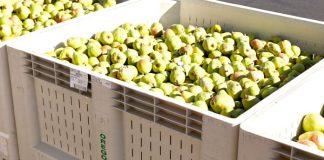 Oregon Pears